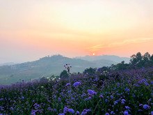 Sunrise Behind Mountain In The Morning With Small Violet Verbena Flower Blooming In The Field.