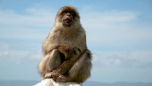 Monkey In Gibraltar Overlooking The City 2