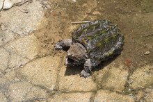 Alligator Snapping Turtle Near...