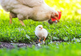 hen and little fluffy chickens walk on the lush green grass in the farm yard on a Sunny spring day