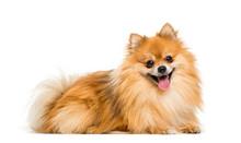 Pomeranian, 2 Years Old, Lying...