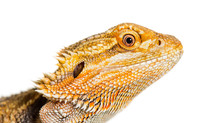 Close Up Of Bearded Dragon, Po...
