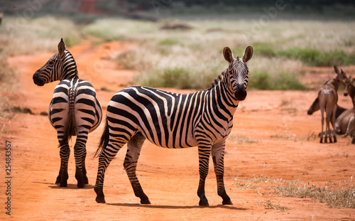 Zebras in the grass landscape of the savannah of Kenya