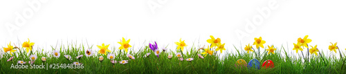 Fototapeta Green grass and yellow narcissus field .Colorful easter eggs. obraz