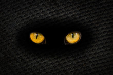 The Big Orange Eyes Of The Animal Sparkle In The Dark Hole Of The Slate Sheet