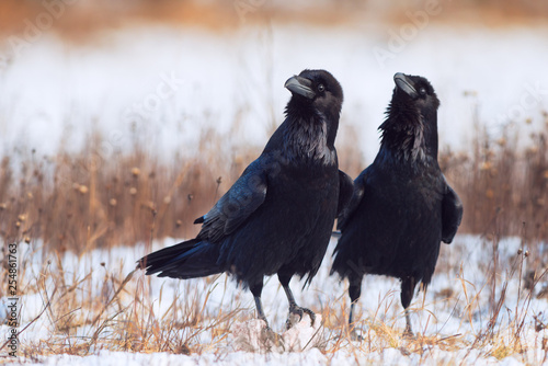 Photo  Pair of ravens in courtship. Corvus corax