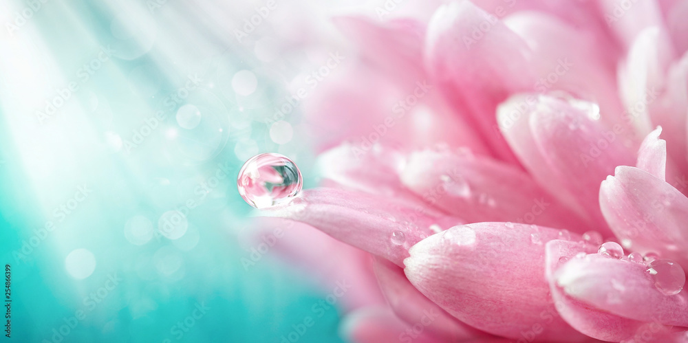 Fototapety, obrazy: Beautiful drop of water morning dew on petal of pink chrysanthemum flower with summer spring reflection close-up macro in nature, rays of sunlight against turquoise sky, copy space, panoramic view.