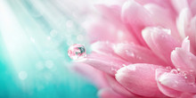Beautiful Drop Of Water Morning Dew On Petal Of Pink Chrysanthemum Flower With Summer Spring Reflection Close-up Macro In Nature, Rays Of Sunlight Against Turquoise Sky, Copy Space, Panoramic View.