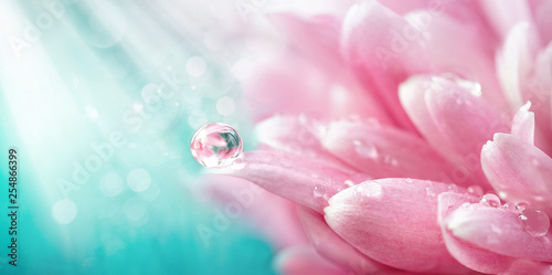 Stampa su Tela Beautiful drop of water morning dew on petal of pink chrysanthemum flower with summer spring reflection close-up macro in nature, rays of sunlight against turquoise sky, copy space, panoramic view