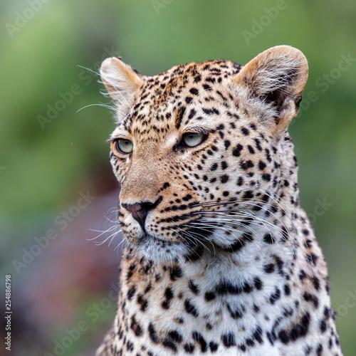 Foto  Leopard portrait in Sabi Sands Game Reserve in the Greater Kruger Region in Sout
