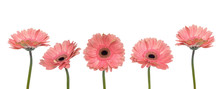 Gerbera Flowers Isolated On W...
