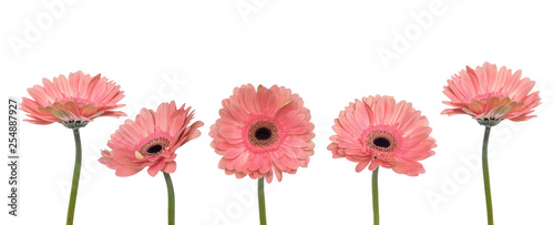 Wall Murals Gerbera Gerbera flowers isolated on white background.