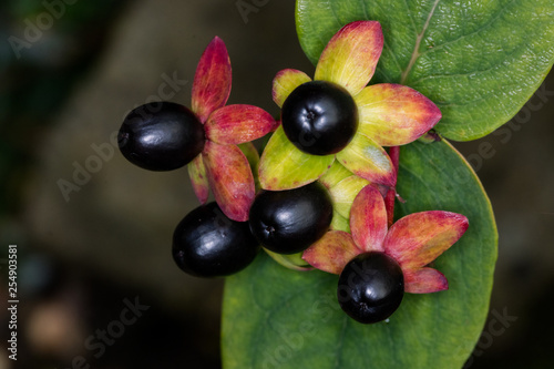 Fotomural Deadly Nightshade black buds with a blurred background in a garden
