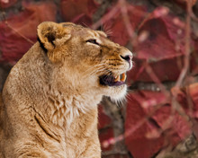 A Beautiful Face Of A Lioness Is A Portrait In Profile, A Red Background, Teeth Bared In A Growl, A Beautiful, Independent Woman.