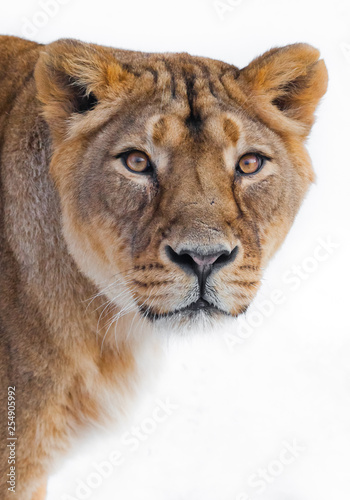 Photo greedy look cream  eye of a lioness right at you, muzzle close-up, white background