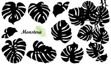 Set With Silhouette Of Tropical Monstera Or Swiss Cheese Plant Leaf Bunch In Black Isolated On White Background.
