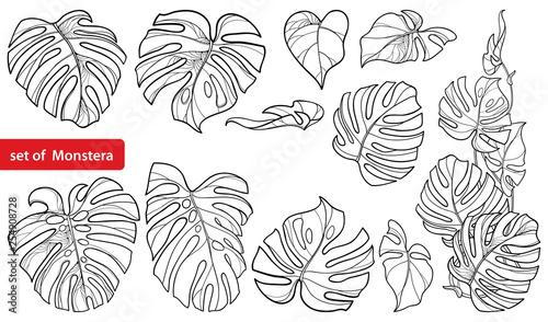 Zestaw z konspektu tropikalnych Monstera lub szwajcarski ser liści pęczek w kolorze czarnym na białym tle.