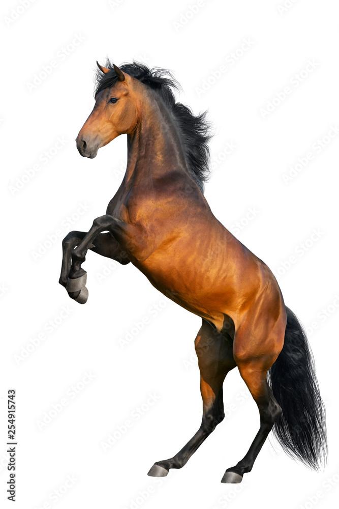 Fototapety, obrazy: Bay horse rearing up isolated on white background