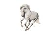 White horse isolated on white background