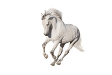 White Horse Isolated On White Background