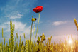 Beautiful sunrise over field of wheat with bright red poppies flowers.