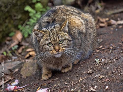 Fotografie, Obraz  European wild cat, Felis s. Silvestris, watching around