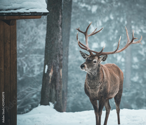 Poster Deer Beautiful red deer stag in snow covered Winter forest landscape