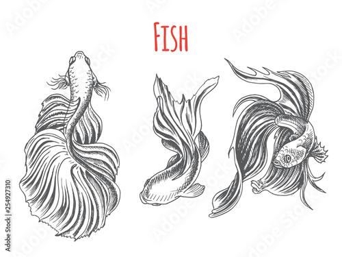 Hand Drawn Vector Sketch Betta Splendens Fantail Goldfish Tattoo