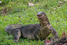 A Large Scaly Monitor Lizard In A Park In Thailand Hunts And Eats A Bird On The Grass. Wild Animals Of Asia