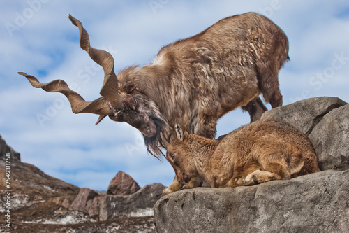 Tablou Canvas Mountain goat with big horns (Markhur) stands on a rock, at its feet is a young