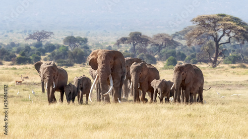 Obraz na plátne Bull elephant with a herd of females and babies in Amboseli, Kenya