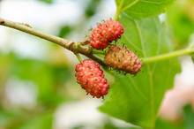 Small Mulberry Bunch