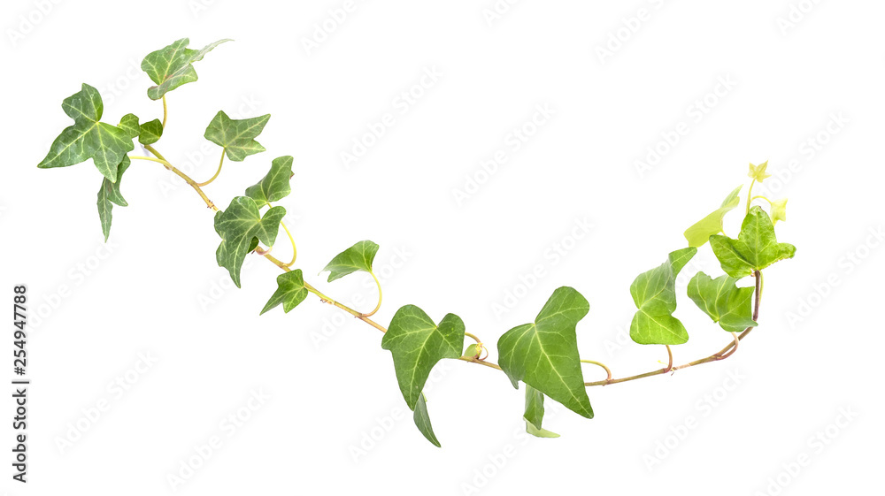 Fototapety, obrazy: ivy leaves isolated on a white background