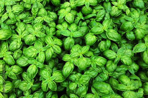 Fotomural sweet basil plant texture