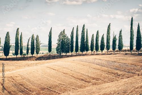 Foto  Beautiful Tuscany. Orange fields and cypress trees
