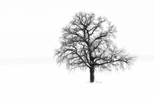 Black And White Photo With Lonely Tree In Winter On Snow In Field
