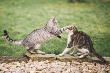 Zwei Katzen Kämpfen