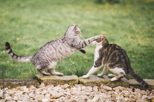 Photo Zwei Katzen kämpfen