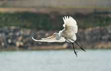 Great Egret On The River