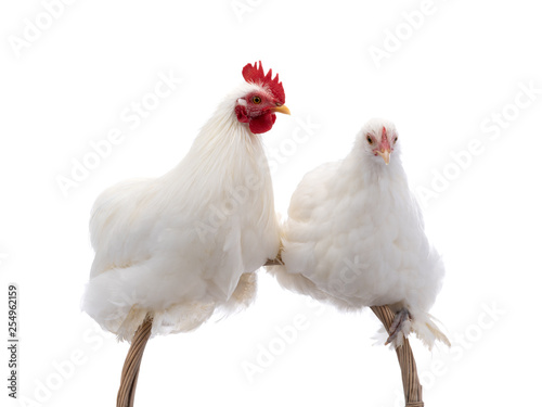 Fotomural male and female white rooster isolated