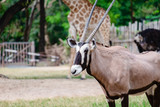 Oryx/Gemsbok standing in the green field for animal and wildlife concept