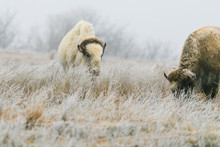 A Rare White Bison With Its Heard In Lake Scott State Park Grazes On Grass In The Winter Of 2019