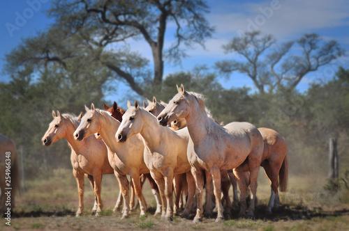 Fotografía  caballos blancos con fondeo de árboles