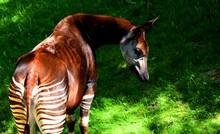 The Okapi (forest Giraffe, Congolese Giraffe Or Zebra Giraffe) Is An Artiodactyl Mammal. Although The Okapi Bears Striped Markings Reminiscent Of Zebras, It Is Most Closely Related To The Giraffe.