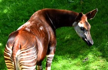 The Okapi (forest Giraffe, Con...