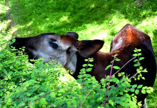 Photo The okapi (forest giraffe, congolese giraffe or zebra giraffe) is an artiodactyl mammal