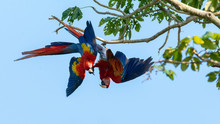 With A Kick To The Face One Scarlet Macaw Is Definely Sending A Message As A Pair Of Them Hang Upside Down From A Tree Branch