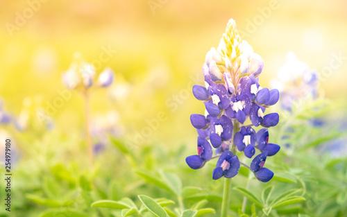 Photo Colorful blue bonnet background