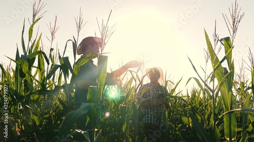 Obraz concept of agricultural business. agronomist man inspects a flowering field and corn cobs. Businessman with tablet checks cornfield. job businessman in agriculture. - fototapety do salonu