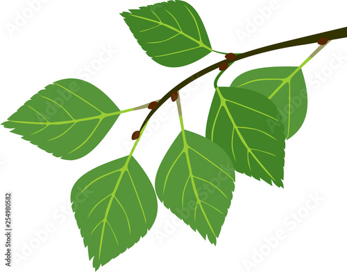 Obraz na plátně Branch of birch with green leaves isolated on white background